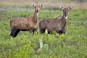 Female Nilgai at Laguna Atascosa National Wildlife Refuge.