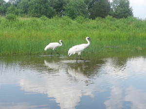 Whooping Cranes at the International Crane Foundation in Baraboo, WI.