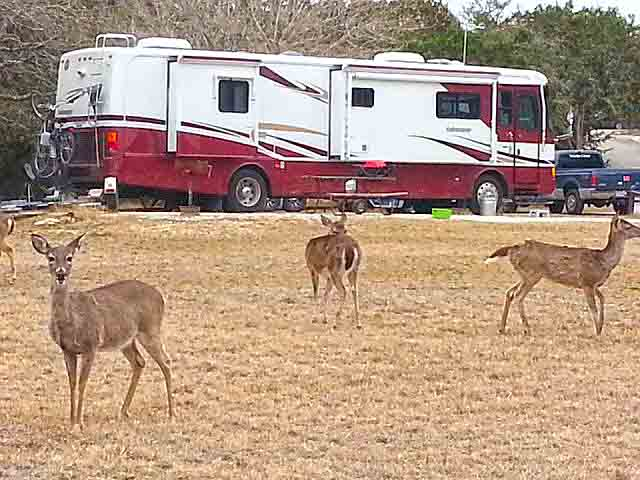 Deer were abundant at Medina Lake Thousand Trails RV Resort near San Antonio, TX.