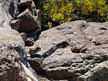 This family of chipmunks was quite entertaining at Grand Mesa National Forest.