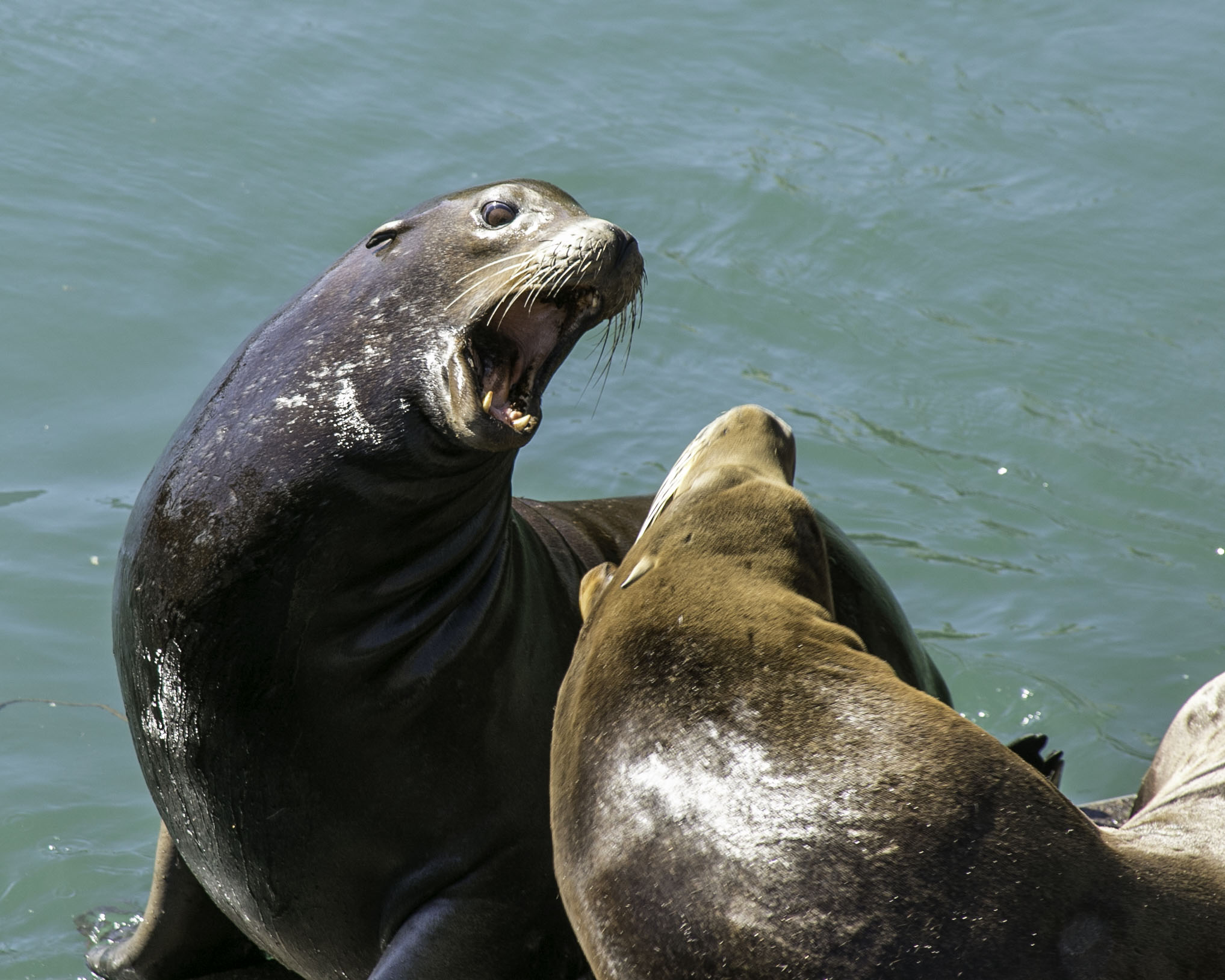 Sea Lions at Fisherman's Wharf, Newport Beach, Oregon.