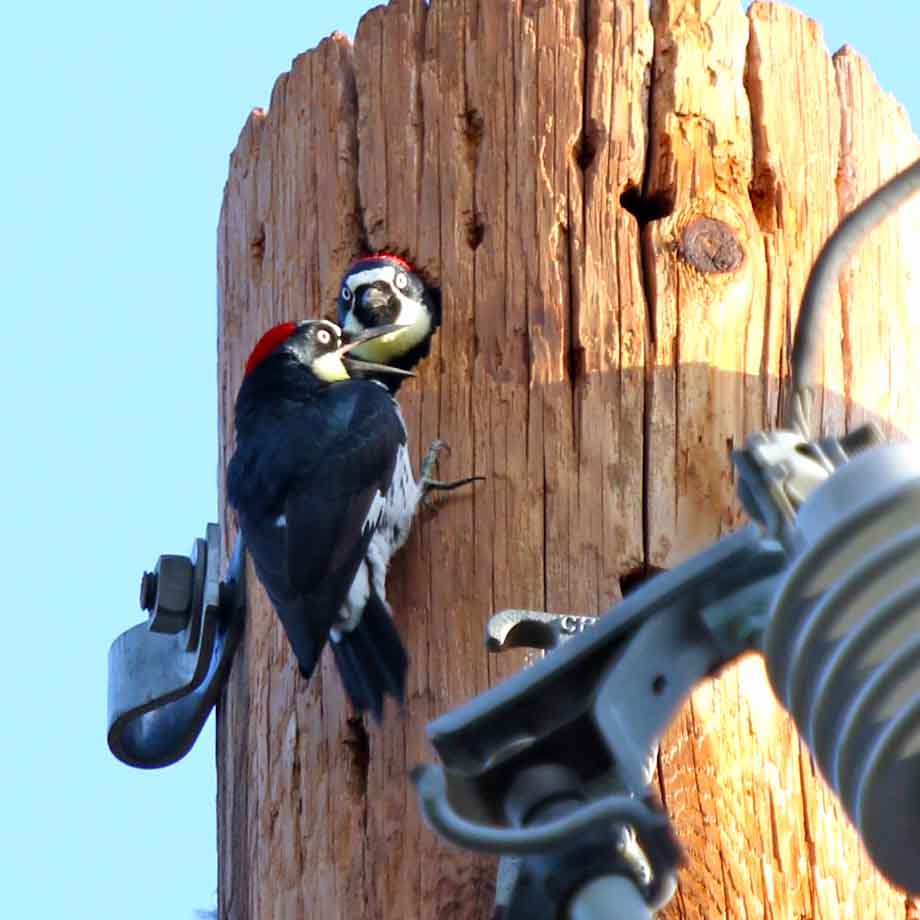 Woodpeckers at Russian River Thousand Trails near Cloverdale, California.
